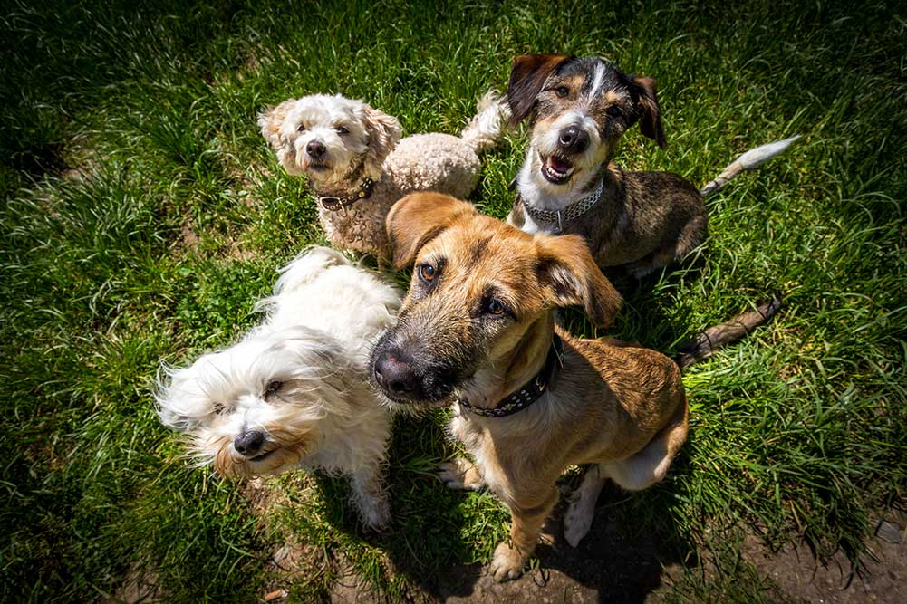 group of dogs looking at camera