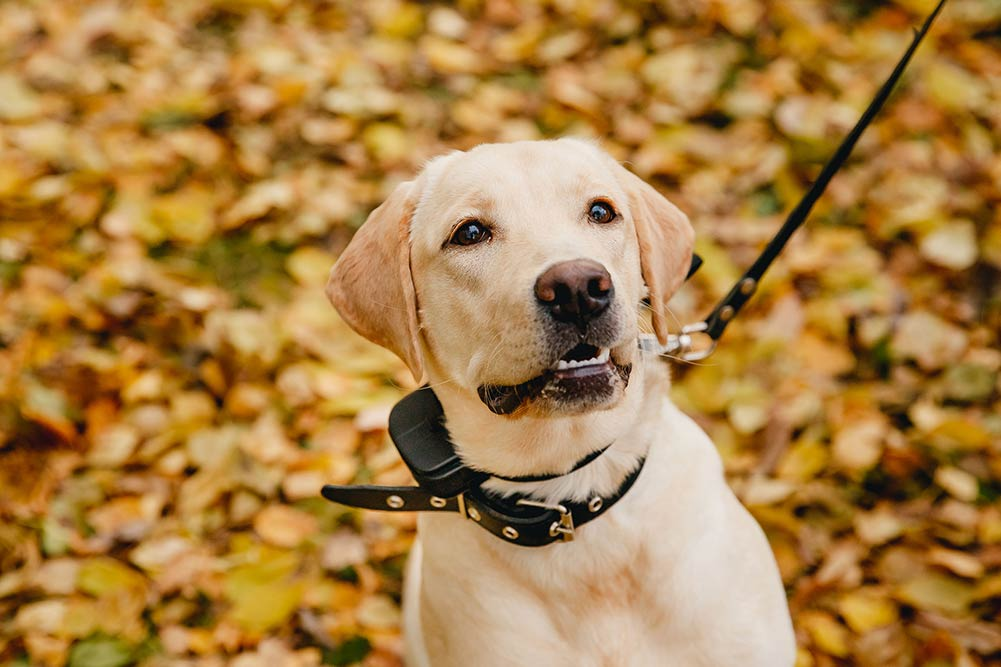labrador looking at its owner with autumn leaves in the background