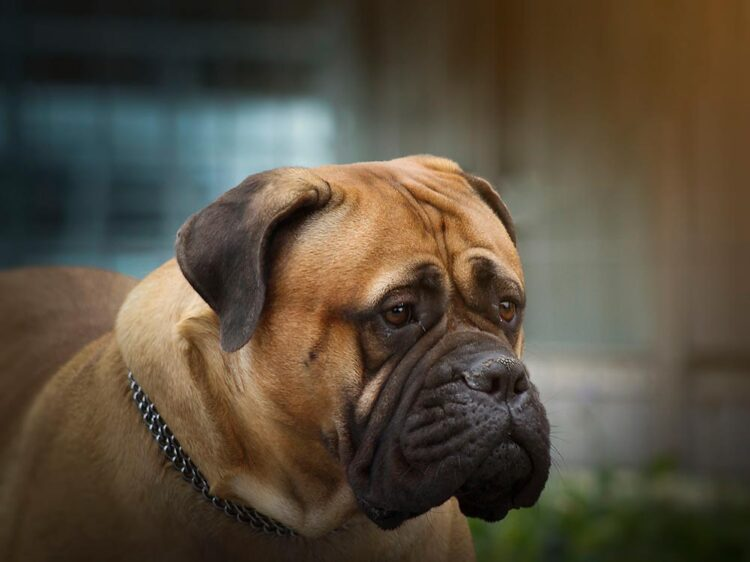 mastiff looking to the side