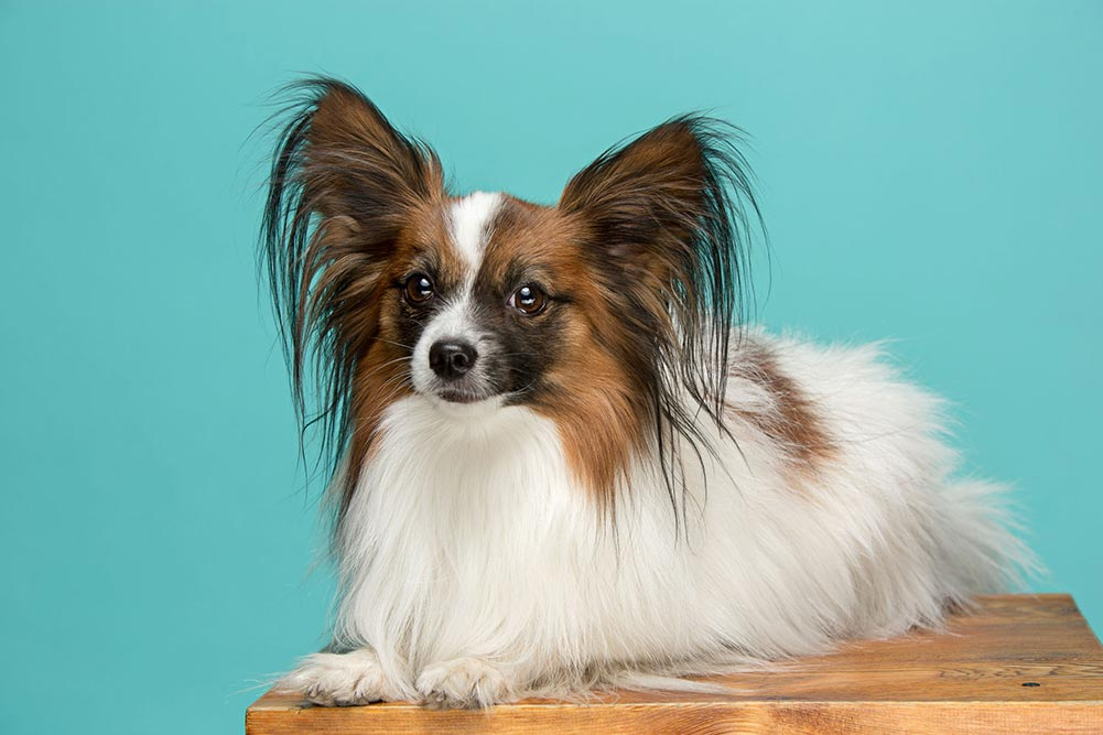 papillon dog on a table with a blue background