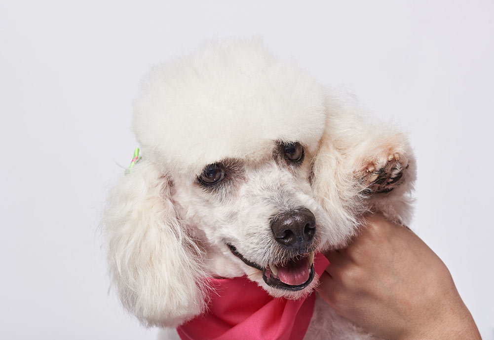 white poodle wearing a pink bandana with it's paw up