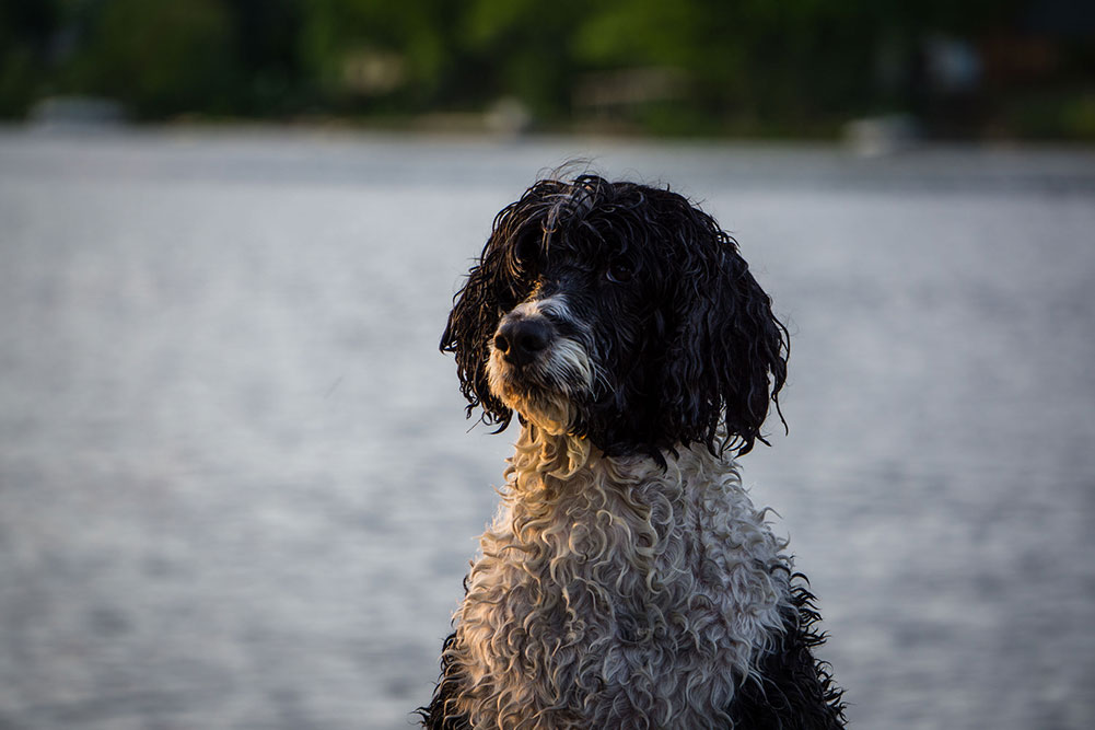 A wet portuguese water dog sitting by the waters edge