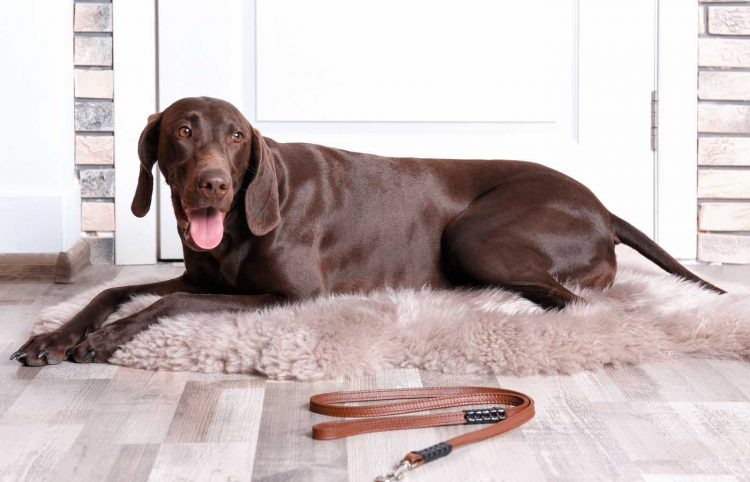 german short-haired pointer lying on the floor in front of door