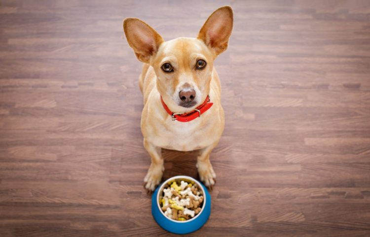 hungry chihuahua dog behind food bowl isolated wood background