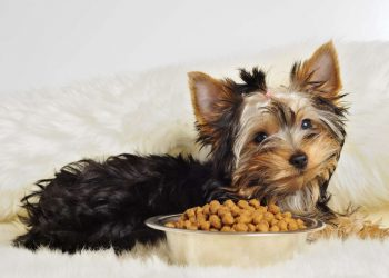 yorkshire terrier with a bowl of dog food