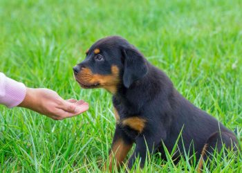 Young rottweiler dog in grass gets food on hand