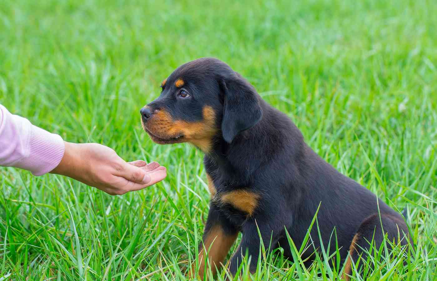 Top 12 Best Foods For Rottweiler Puppies In 2020
