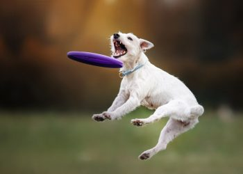 Dog catching frisbee in jump, pet playing outdoors in a park