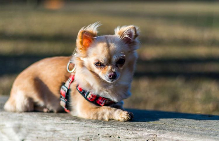 cute chihuahua lying on a wooden bench wearing a harness