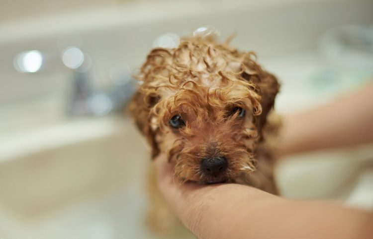 Close-up of cute brown poodle puppy washing in bathroom