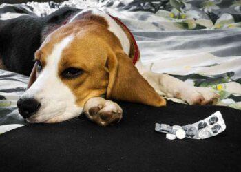 Sick dog with pills