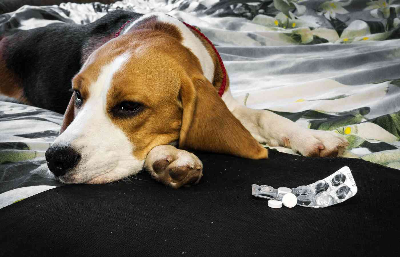 Do You Use Meclizine Dosage For Dogs | Pet Struggles