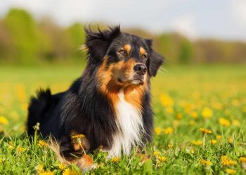 Australian Shepherd dog lying on the meadow
