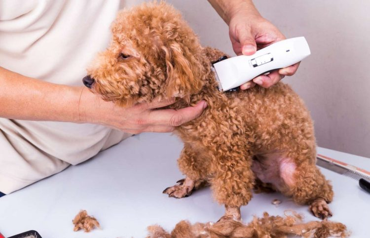 grooming brown poodle dog with trim clipper in salon