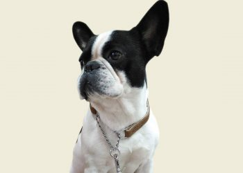 boston terrier wearing a martingale collar
