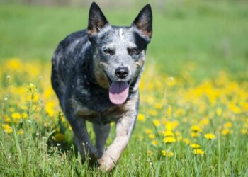 Blue heeler dog running through a meadow with dandelions
