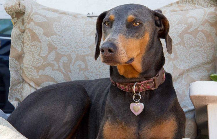 doberman female dog sitting on a chair with heart pendant collar