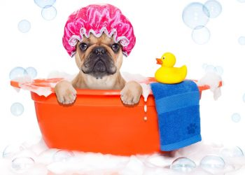 french bulldog dog in a bathtub with yellow plastic duck and towel
