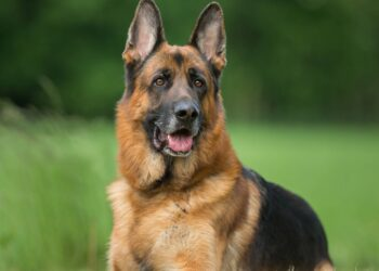 Healthy german shepherd dog photographed outdoors