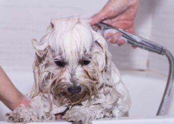 Maltese dog showering