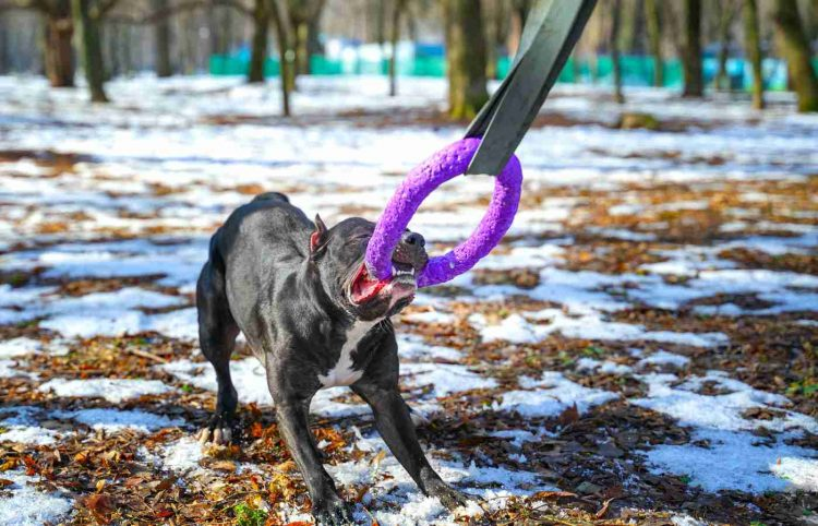American pit bull terrier dog hold puller toy in teeth for a walk in the park