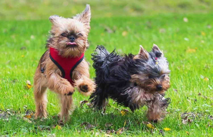 Two Yorkie puppies - one with a red harness - running around