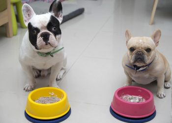 Two French bulldogs waiting for command to eat