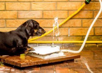 Dachshund dog drinking in a dog water fountain