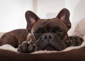 french bulldog dog sleeping on his dog bed
