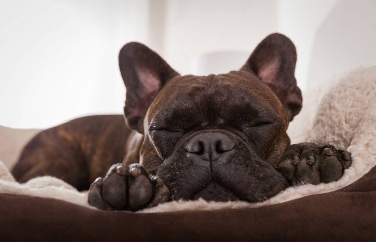 Top 15 Best Dog Beds For French Bulldogs In 2019