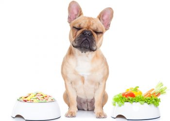 French bulldog in between two full food bowls