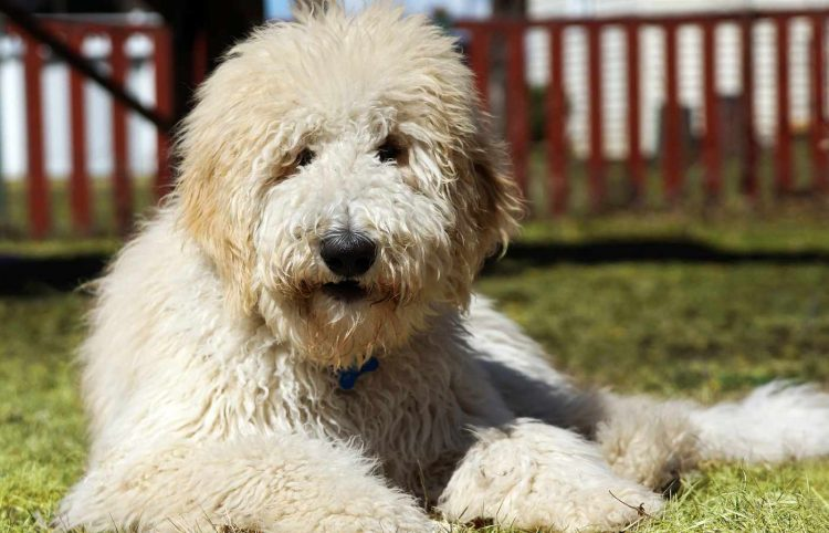 goldenddodle dog in the yard