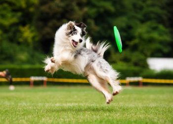 Border collie dog playing with a disk and jumped high