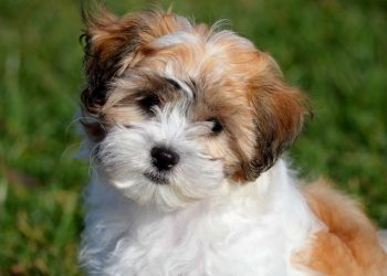 cute brown and white shichon puppy on blurred green grass background