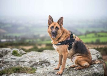german shepherd with harness sitting in a rock