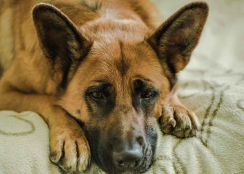 german shepherd laying on his bed with sad face
