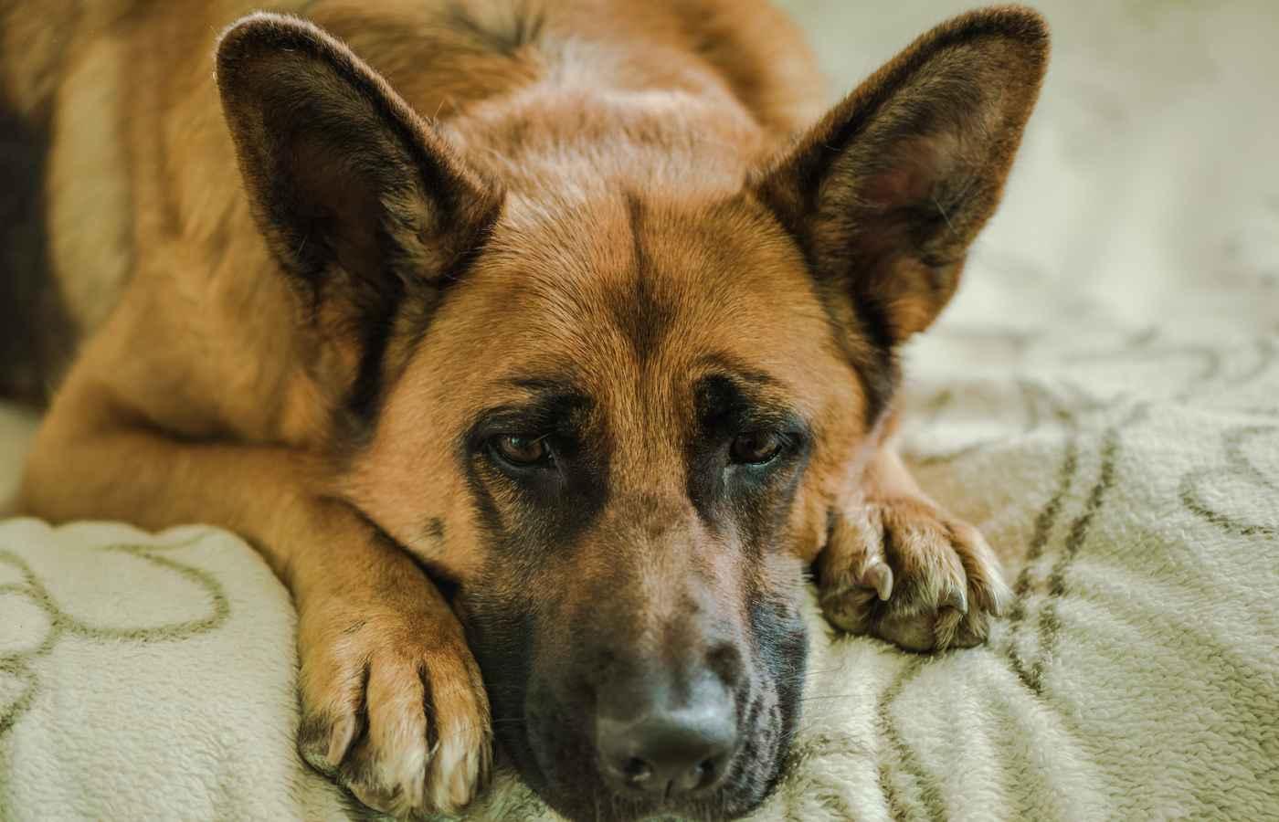 Remarkable Best Dog Bed For German Shepherd Creativecarmelina Interior Chair Design Creativecarmelinacom