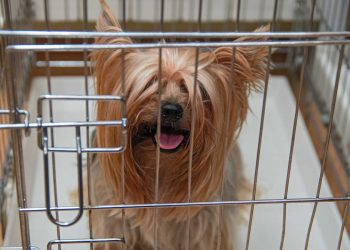 Yorkshire Terrier shaggy doggie in a cage