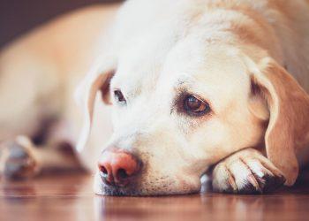 Sick labrador retriever lying on wooden floor at home