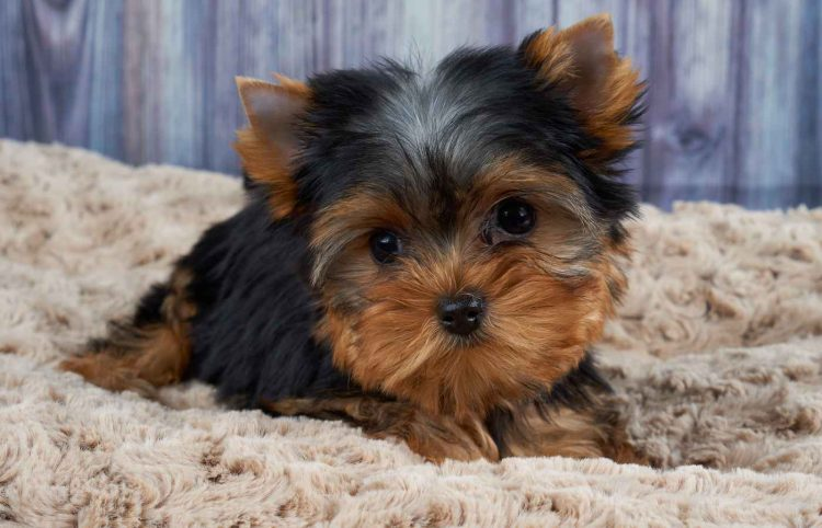 Yorkshire Terrier laying on a beige pet bed