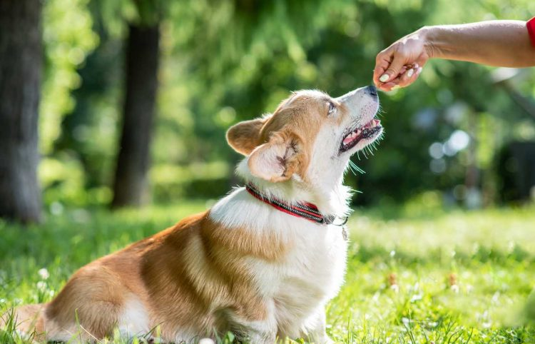 dog owner's hand feeding her corgi with her hand