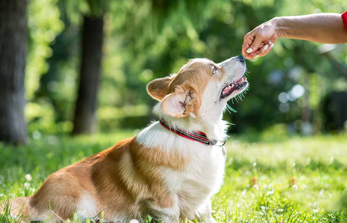 corgi puppy pet dog struggles