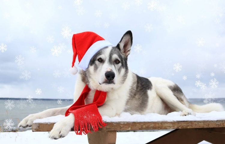 dog laying on a wooden table wearing a santa hat and christmas scarf