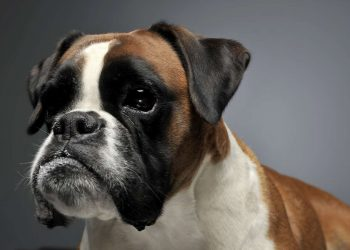 beautiful photo of a young boxer dog
