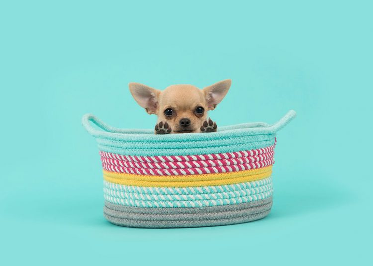 cute chihuahua in a basket with a blue background