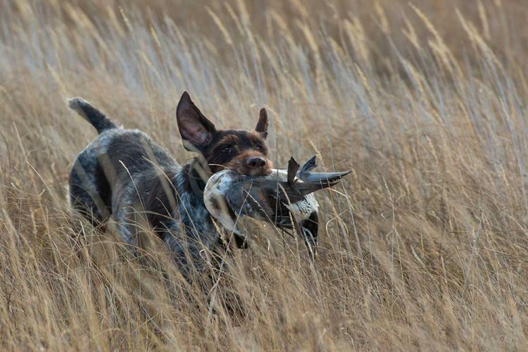 hunting dog running through field with duck in its mouth