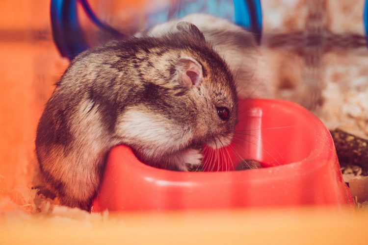 hamster eating food from his bowl