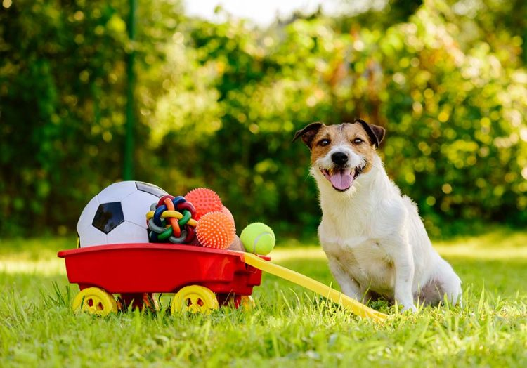 Happy Jack Russell dog sitting outside next to a pile of toys