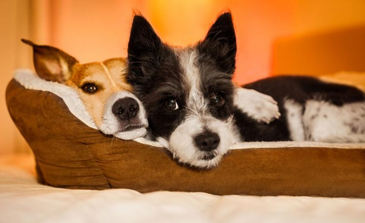 two small dogs snuggled up in their bed