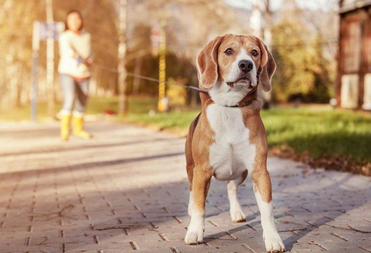beagle on a leash outside on the footpath
